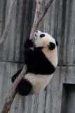 Giant panda bear (cub). Panda cubs play,Climbing the tree scene Royalty Free Stock Images