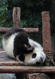 Giant panda bear (cub). Panda cubs play in the wood down, look at the audience Royalty Free Stock Photo