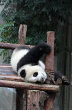 Giant panda bear (cub). Panda cubs play in the wood down, look at the audience Stock Image