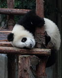 Giant panda bear (cub). Panda cubs play in the wood down, look at the audience Stock Images