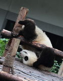 Giant panda bear (cub). Panda cubs play in the wood down, look at the audience Royalty Free Stock Images