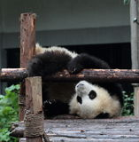 Giant panda bear (cub) Stock Images