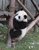 Giant panda bear (cub). Panda cubs play in the wood down, look at the audience Stock Photo