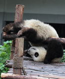 Giant panda bear (cub) do a handstand. Panda cubs play in the wood down, look at the audience Stock Photography