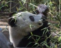 Giant Panda Bear Cub. Eating bamboo shoots Royalty Free Stock Photo
