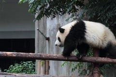 Giant panda bear (cub). Giant panda bear pass Single plank bridge Royalty Free Stock Photography
