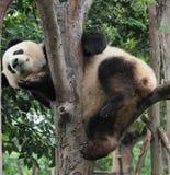 Giant panda bear (cub). A Panda cub is playing  on the tree Royalty Free Stock Photos