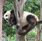 Giant panda bear (cub). A Panda cub is playing  on the tree Stock Photography
