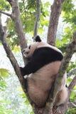 Giant panda bear (cub). A panda sitting in the French phoenix tree sleeping Royalty Free Stock Photos
