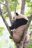 Giant panda bear (cub). A panda sitting in the French phoenix tree upside the head at Royalty Free Stock Photography