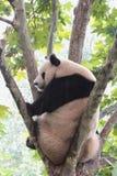 Giant panda bear (cub). A panda sitting in the French phoenix tree upside the head at Royalty Free Stock Photo
