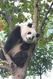 Giant panda bear (cub). A panda sitting in the French phoenix tree upside the head at Royalty Free Stock Photos