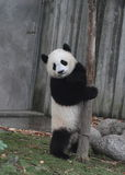 Giant panda bear (cub) Stand back to laugh Stock Images