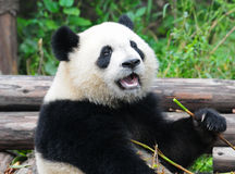 Giant panda bear eating bamboo Stock Photography