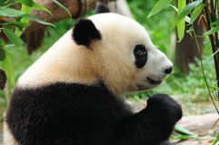 Giant panda bear eating bamboo Royalty Free Stock Photography