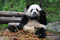 Giant panda bear eating bamboo Royalty Free Stock Photo