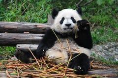 Giant panda bear eating bamboo Royalty Free Stock Photo