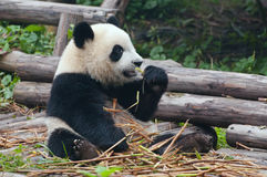 Giant panda bear eating bamboo Royalty Free Stock Photos