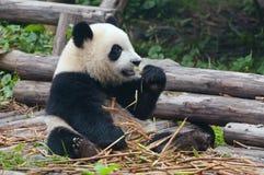 Giant panda bear eating bamboo Royalty Free Stock Photos