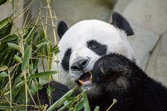 Giant panda bear eating bamboo. Hungry giant panda bear eating bamboo royalty free stock images