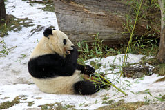 Giant panda bear eating bamboo leaf Royalty Free Stock Image