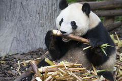 Giant panda bear eating bamboo. In the zoo Royalty Free Stock Image