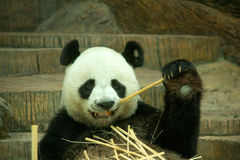 Giant panda bear enjoy eating bamboo Royalty Free Stock Image