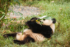 Giant panda bear laying on his back eating Stock Images