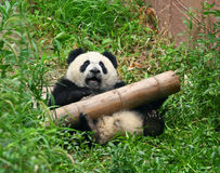 A giant panda bear needs help Royalty Free Stock Photography