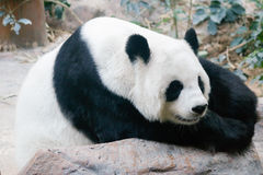 Giant Panda bear. Is relaxing on rock Royalty Free Stock Photos