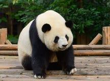 Giant panda bear. Resting at Chengdu, China royalty free stock photography