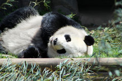 Giant Panda Bear. Resting on the ground next to bamboo leaves stock photo