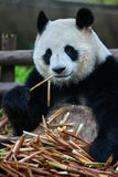 Giant panda bear Sichuan China Stock Photography