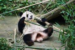 Giant panda bear Sichuan China Stock Photography