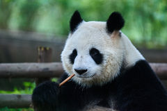 Giant panda bear Sichuan China Royalty Free Stock Photos