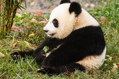 Giant panda bear sits eating greens. Close-up of Panda bear sitting eating at Chengdu Research Base of Giant Panda Breeding Center in  Sichuan China Stock Images