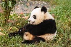 Giant panda bear sits eating greens Royalty Free Stock Photos