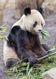 Giant panda bear. Sitting and eatig bamboo stock photo