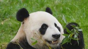 Giant panda bear eating stock video
