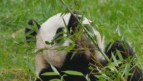 Giant panda bear eating stock video footage