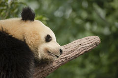 Giant Panda Bear Sleeping on a Branch, Close-up Royalty Free Stock Photo