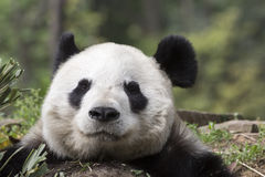 Giant Panda Bear Asleep Closeup. After filling his stomach with bamboo, a giant panda bear closes his eyes and appears to smile with supreme and utter stock image