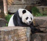 Giant Panda Bear. Tired giant panda bear resting Royalty Free Stock Photos