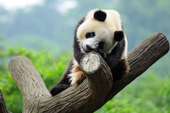 Giant panda bear in tree stock photography