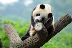 Giant panda bear in tree Stock Photography