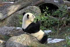 Giant panda bear in Vienna Zoo Stock Photos