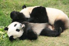 Giant panda bears (Ailuropoda Melanoleuca), China stock photo