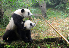 Giant panda bears fighting for food Stock Image