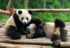Giant panda bears playing Royalty Free Stock Images