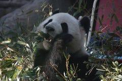 Giant Panda in Beijing Zoo, China. Giant Panda is Eating Bamboo shoot Royalty Free Stock Photos